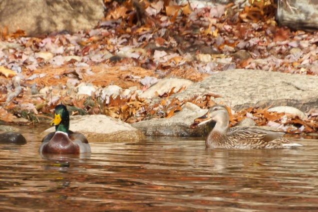 Mallards Eat Acorns